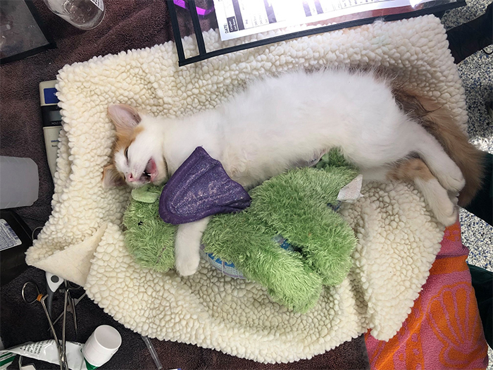 kitten comforts a plush toy after surgery