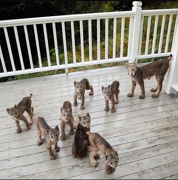 lynx cat family on the porch