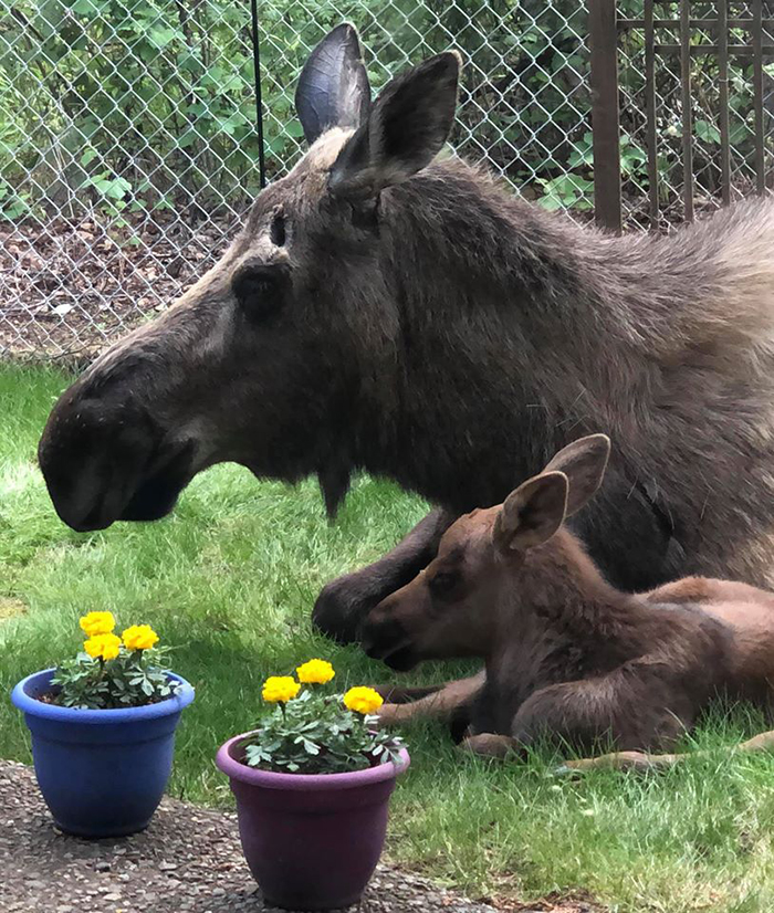 moose and baby calf