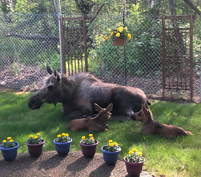 moose and calves in a family's backyard