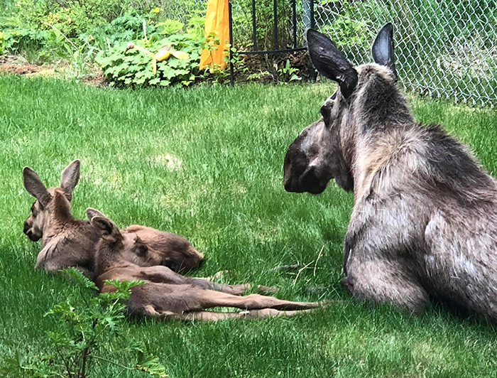 moose and calves relaxing on grass