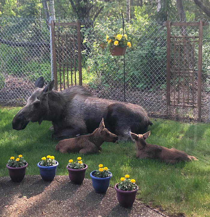 moose and her two calves in a backyard