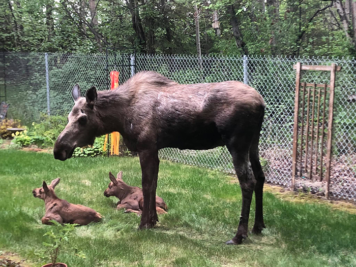 moose and her two calves in a yard