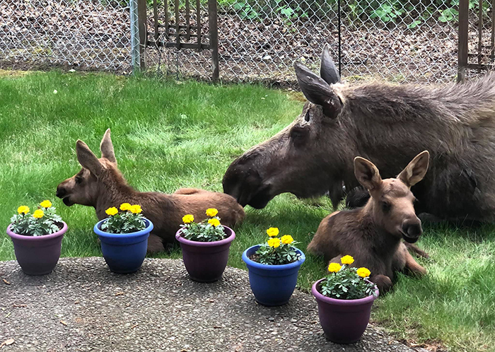 moose and two calves relaxing in a backyard