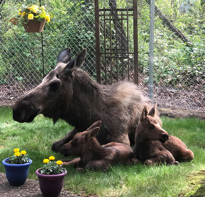 moose family in a backyard