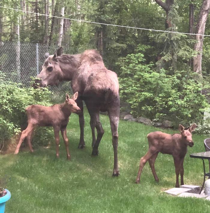 moose family in a family's backyard in alaska