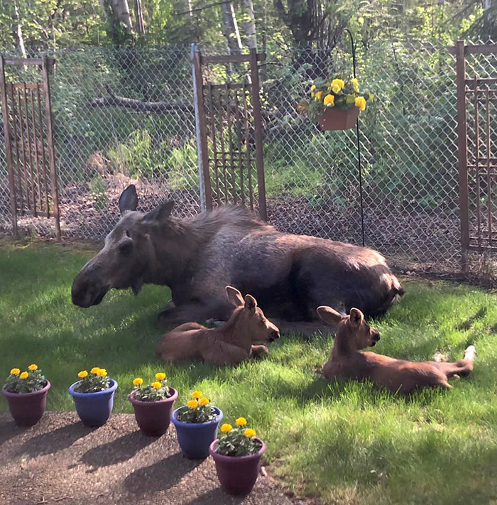 moose family in a family's yard