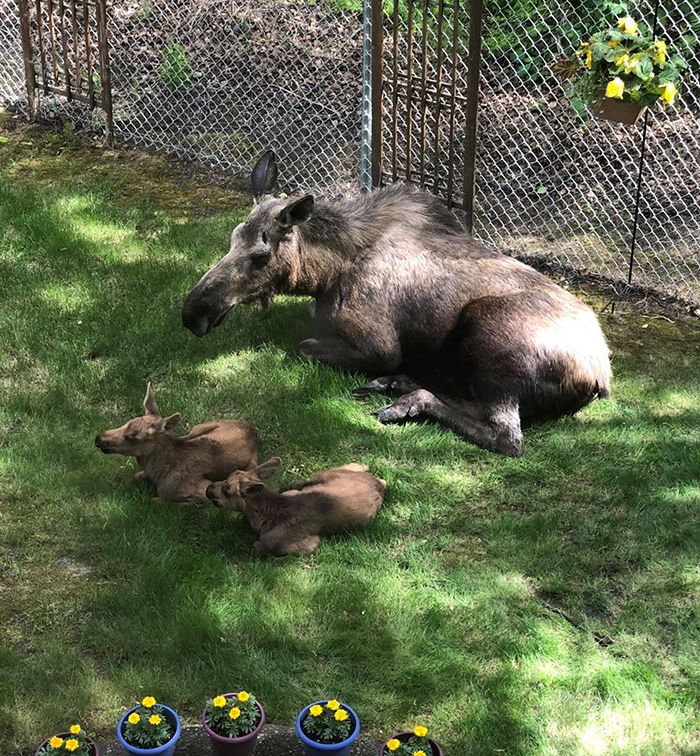 moose family sitting on grass