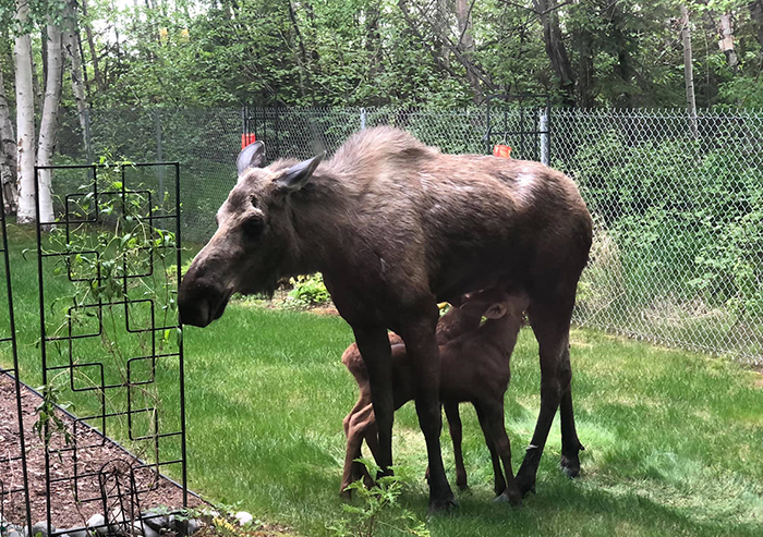 moose feeding her two calves