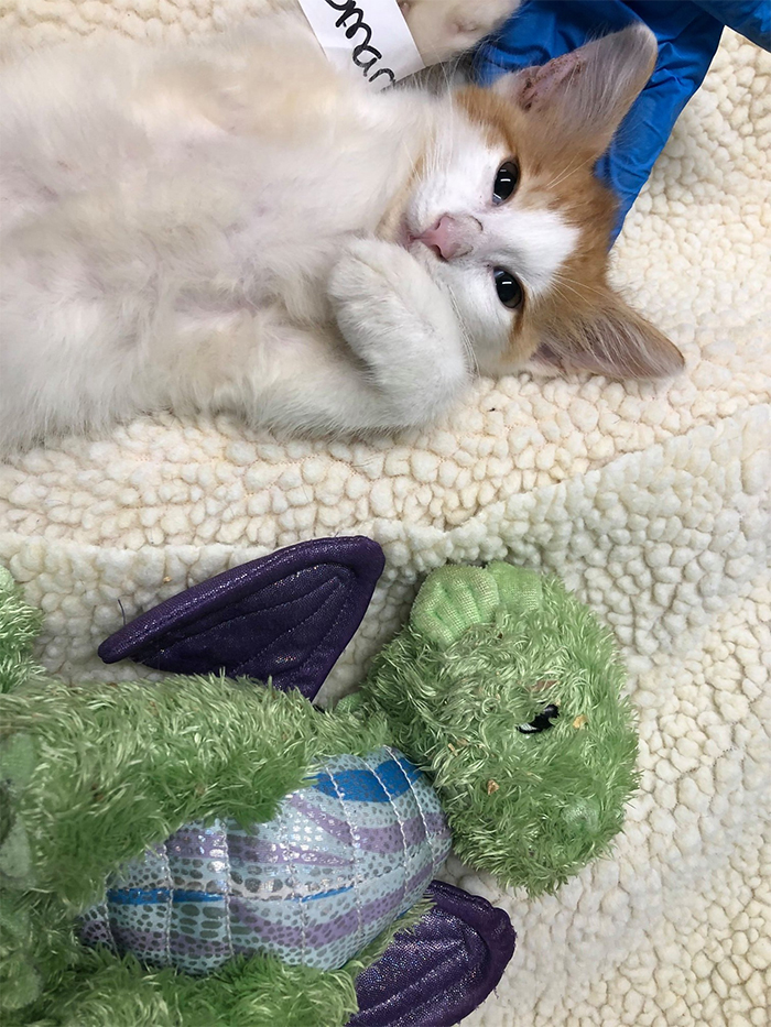 plush toy makes kitten braver for surgery