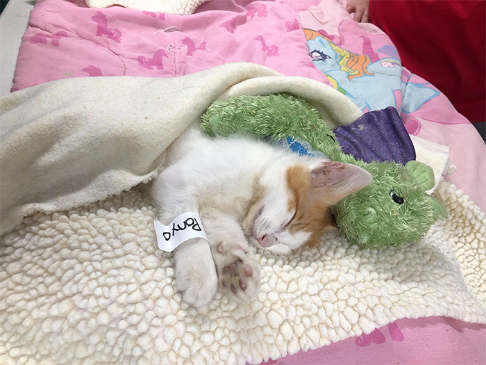 ponyo kitten recovering after surgery