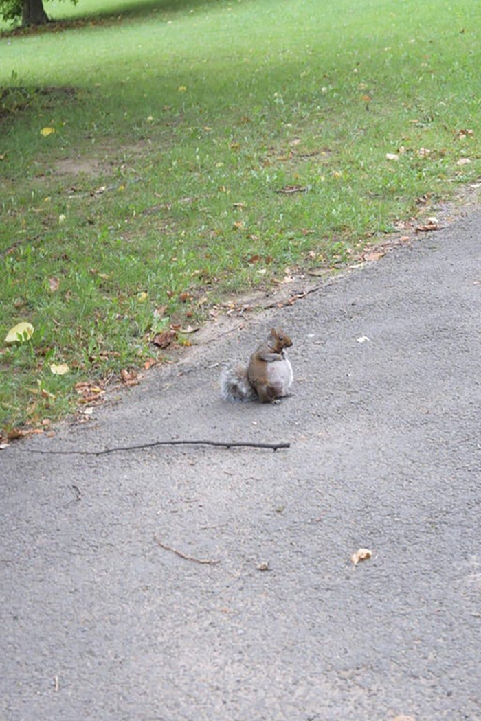 pregnant squirrel on road
