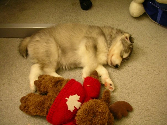 puppy husky raised by cats