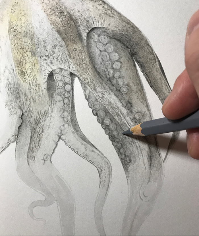 realisitc drawing octopus tentacle suckers