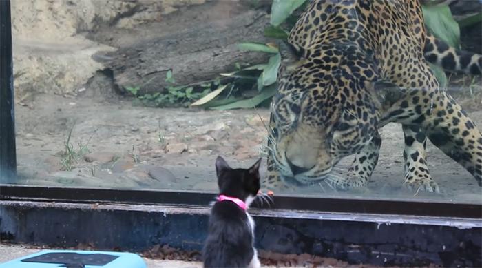 rescue cat meets a leopard at san antonio zoo