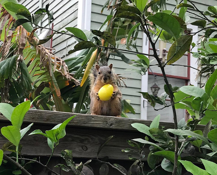 rodent holding a yellow candy