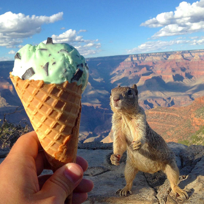 rodent looking at ice cream