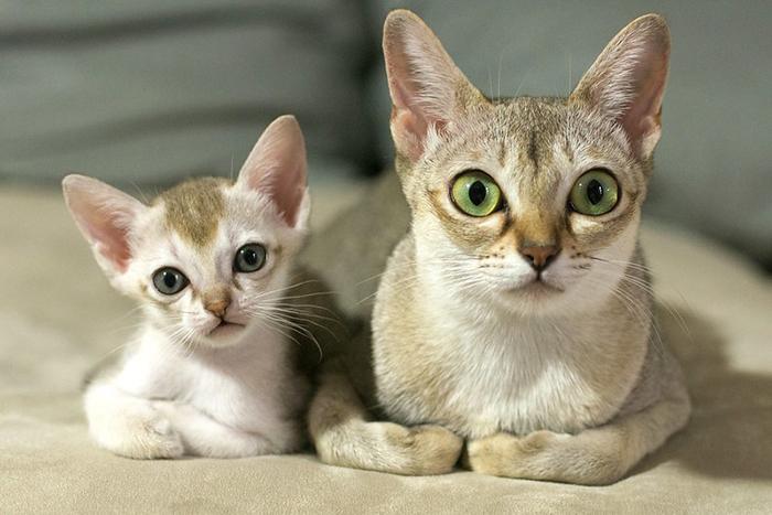 singapura cat and her mini-me
