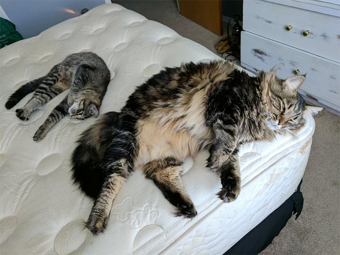 size difference maine coon vs american shorthair