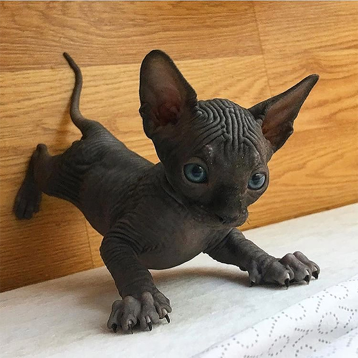 sphynx kitten shows off claws