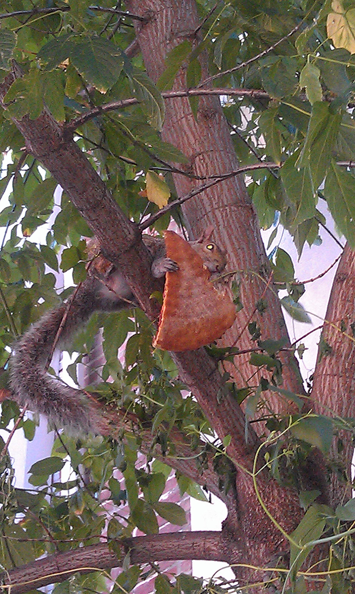 squirrel eating a pizza