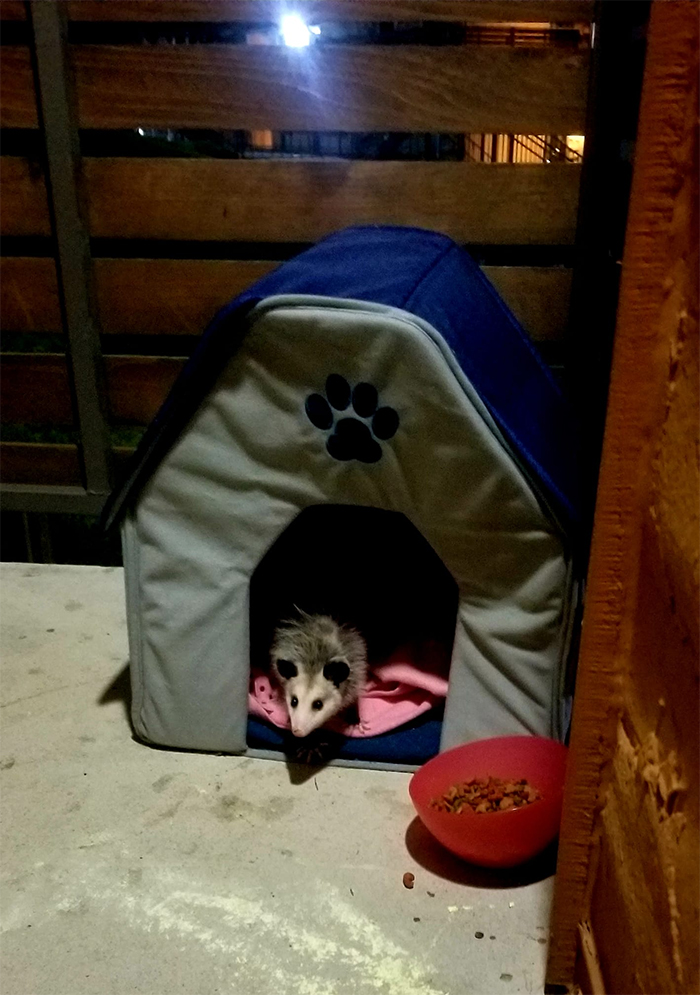 stray kitty turned out to be a possum