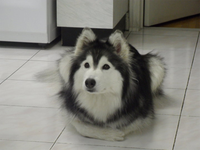 tally the husky raised by cats