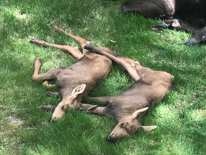 two calves sleeping on grass