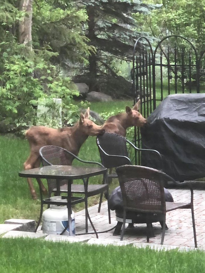 two calves sniffing items in backyard