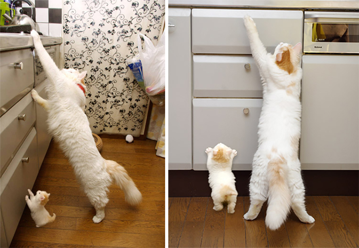 white cat and kitten reaching for countertop