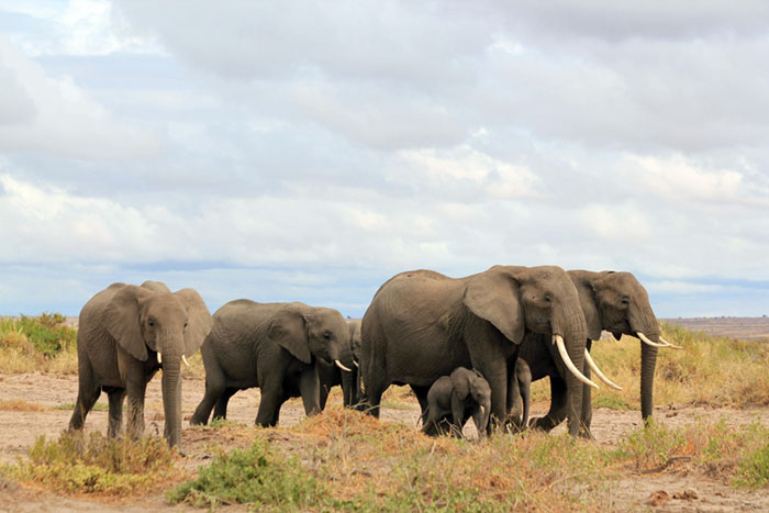 Kenya Has Doubled Their Elephant Population