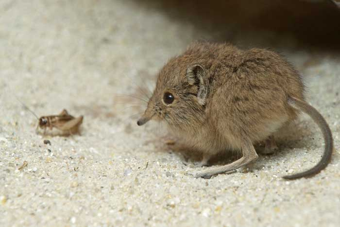 a baby elephant shrew next to an insect
