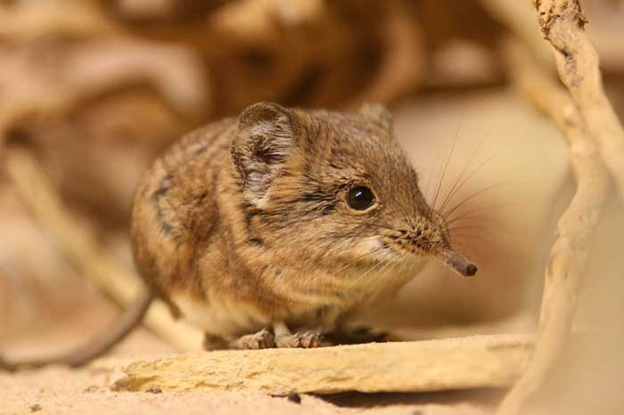 after half a century elephant shrews are no longer lost to science