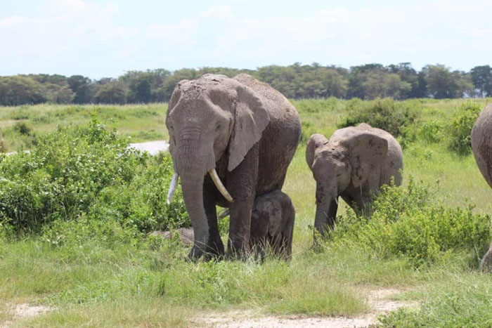 an elephant cow walks alongside two calves