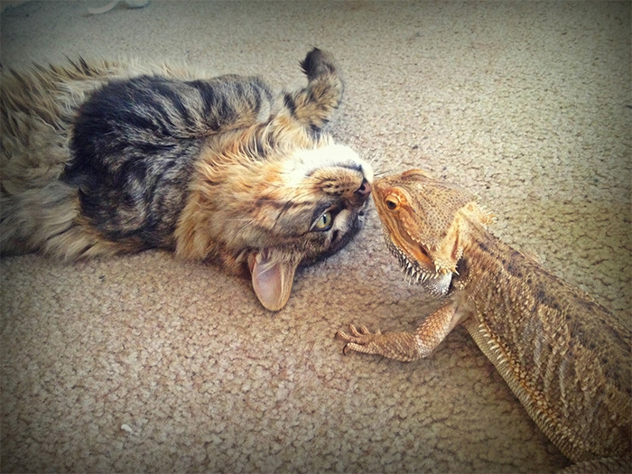 bearded dragon and cat friends