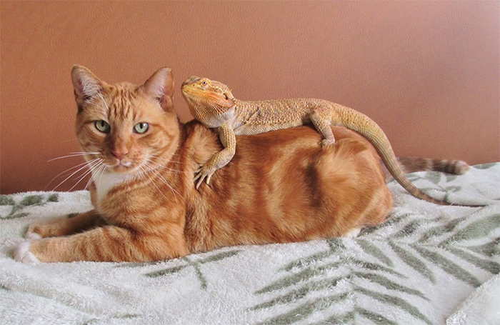 bearded dragon comforting a cat at the vet clinic