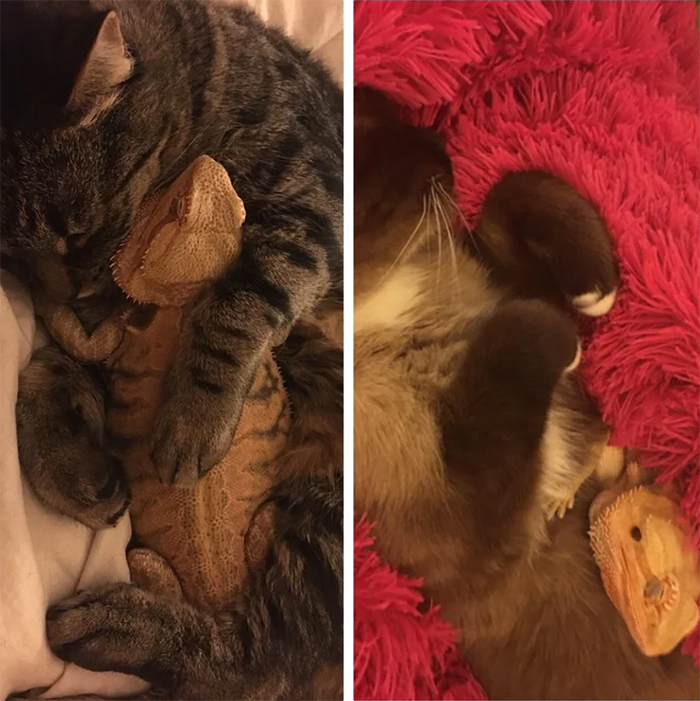 bearded dragon cuddling with cats