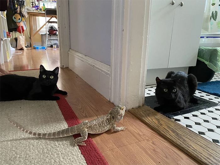 bearded dragon with two cats