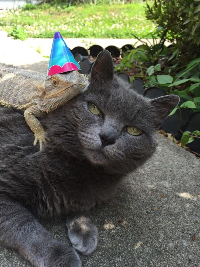 cat and bearded dragon friendship