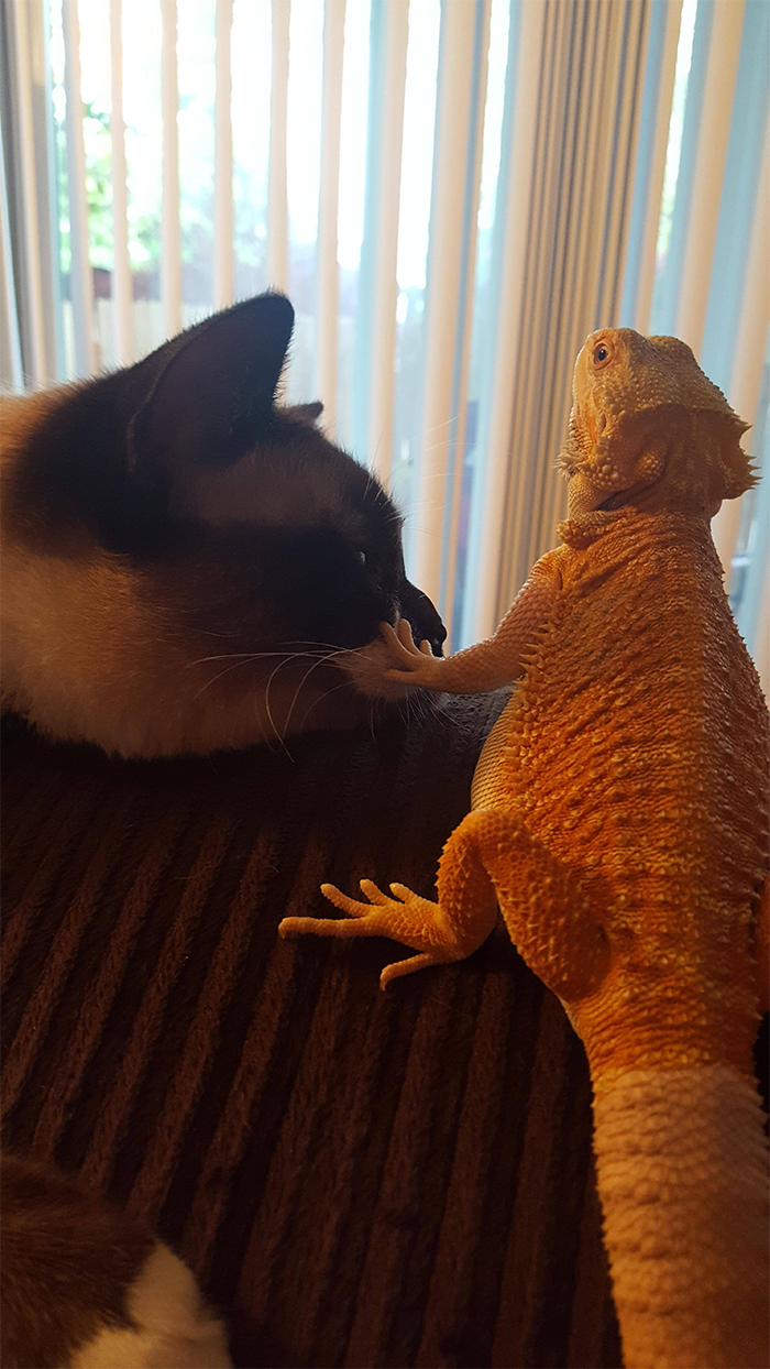 cat and bearded dragon getting along