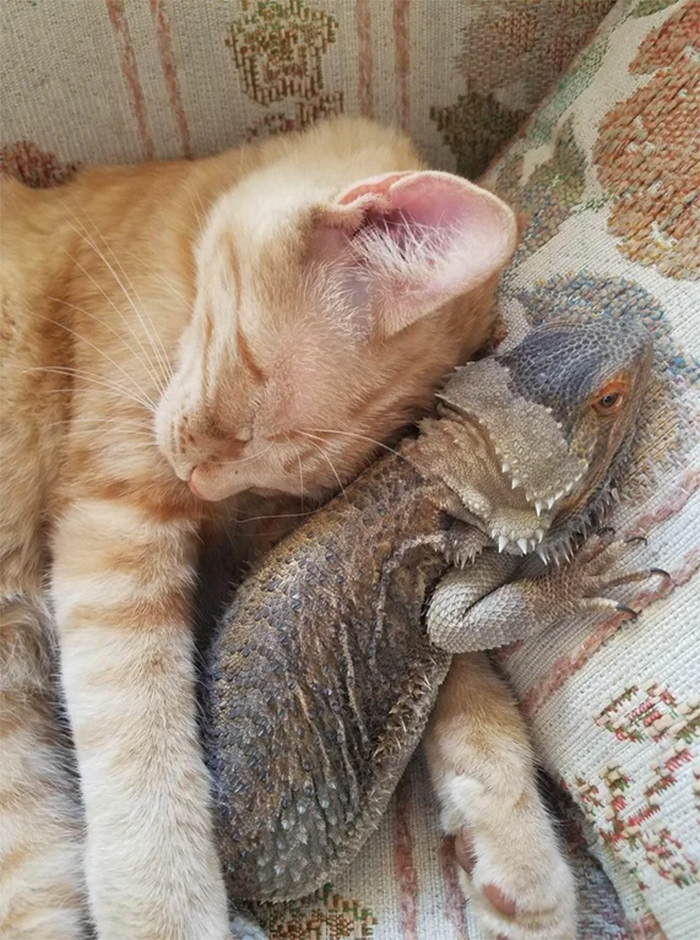 cat and bearded dragon sleeping buddies