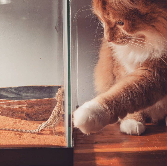 cat looks after a baby bearded dragon