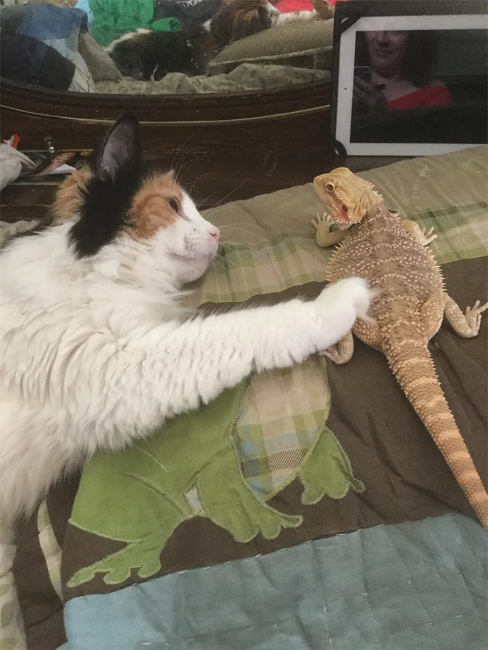 cat petting a bearded dragon