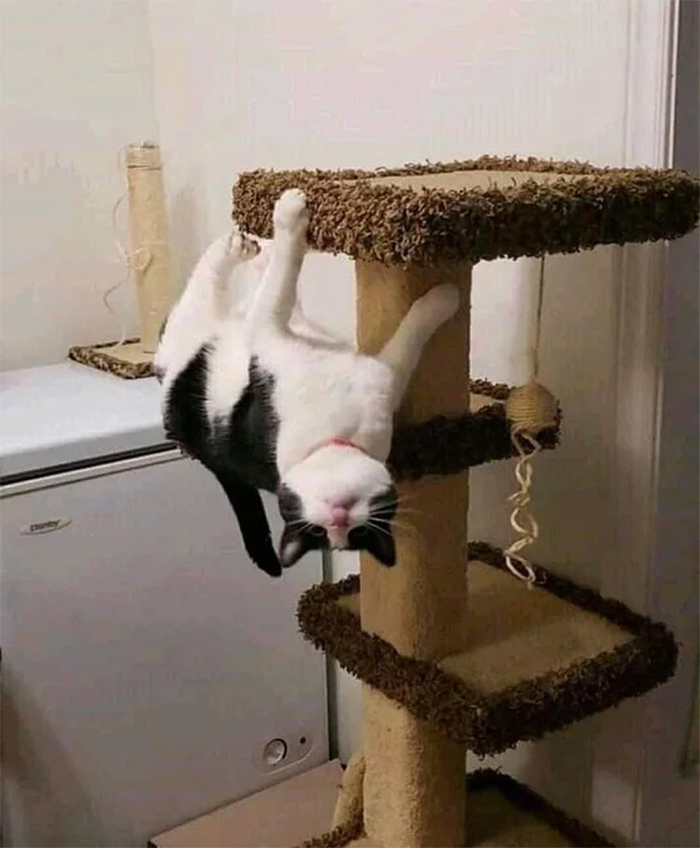 cats acting like spiderman