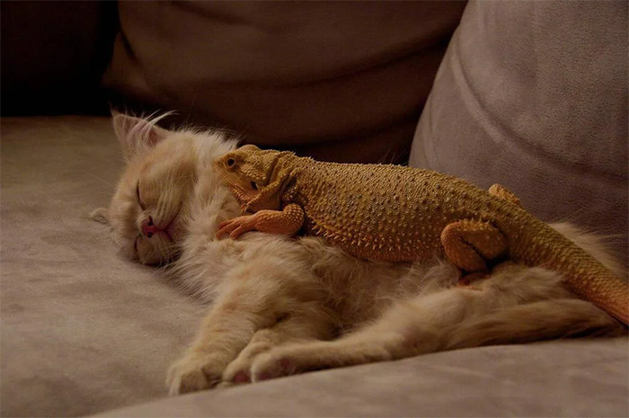 cats and lizards sleeping buddies
