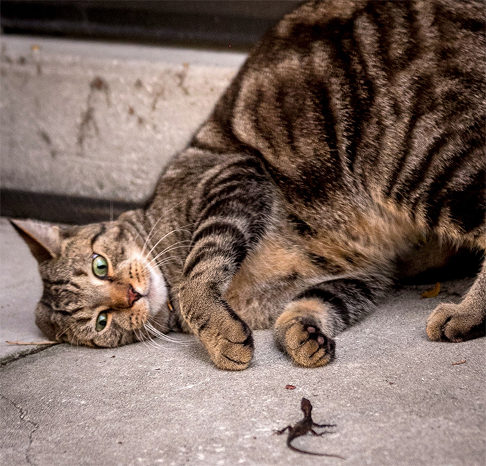 cats vs lizards