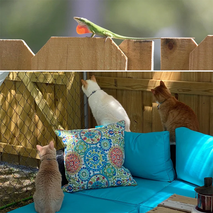 cats watching a gecko on the fence