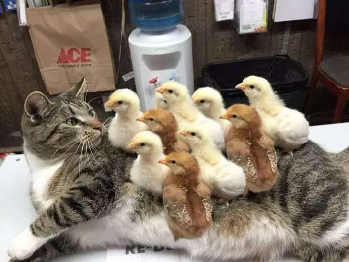 chicks standing on a cat