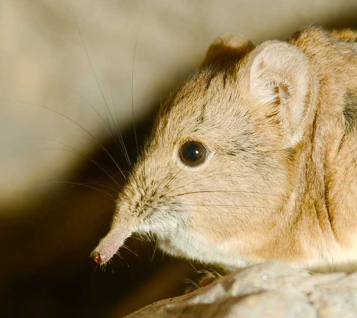 close up of the elephant shrew by josh more
