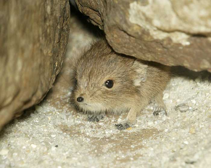elephant shrew peers out from inside its little cave
